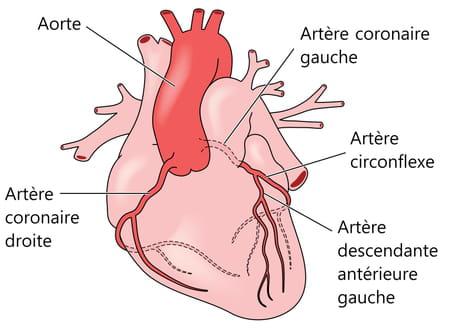 Artères coronaires schéma du coeur