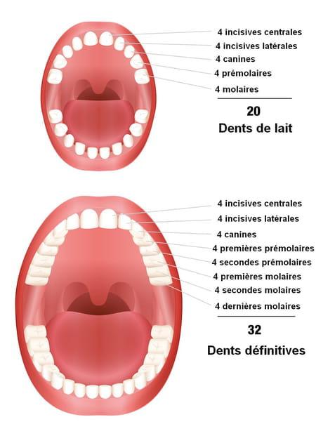 schéma dent de lait