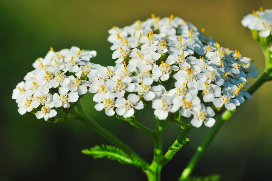 10plantes aux vertus médicinales