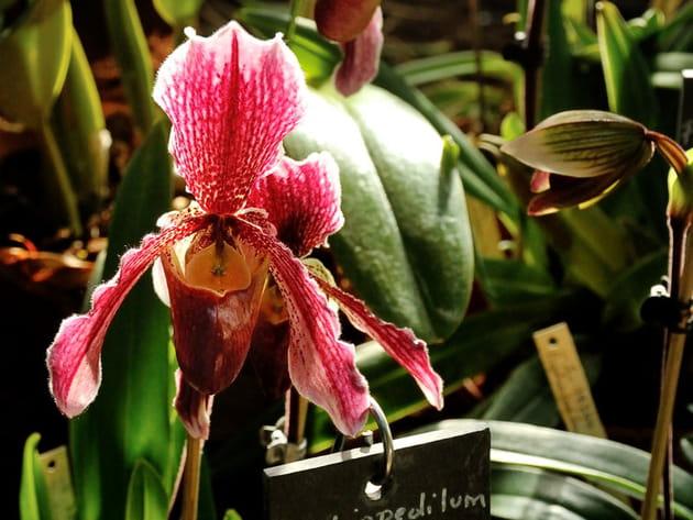 Orchidée Paphiopedilum Chloe