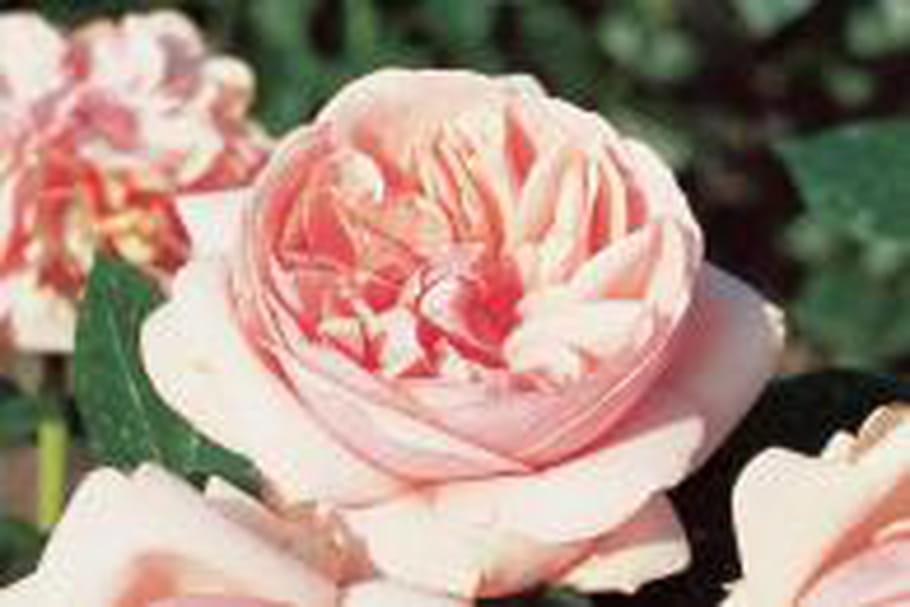 Laurette Fugain ®, un rosier buisson symbole de vie et d'espoir