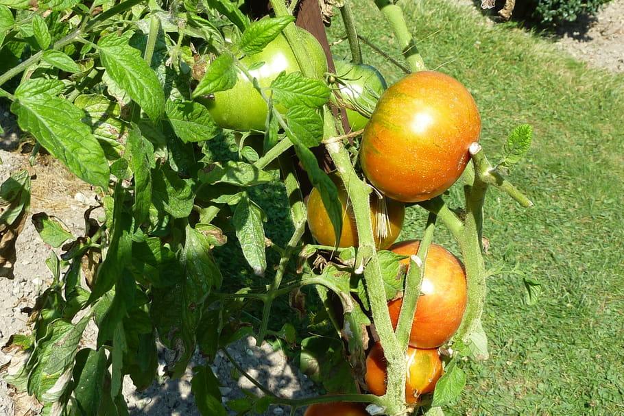 Cultiver des tomates: plantation, semis, entretien, maladie, récolte et conservation