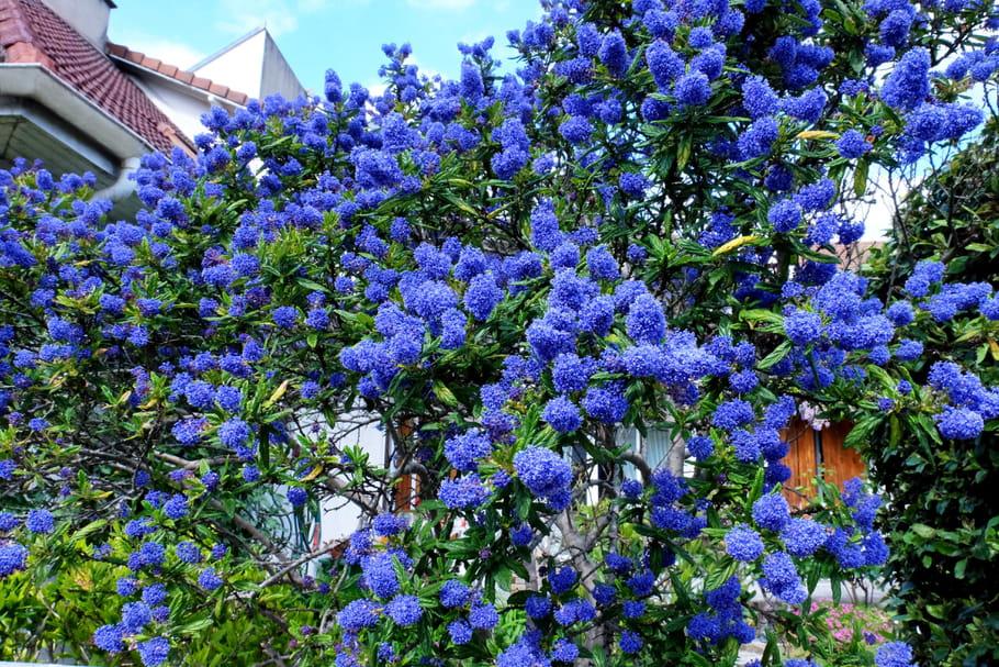 Céanothe (Lilas de Californie)