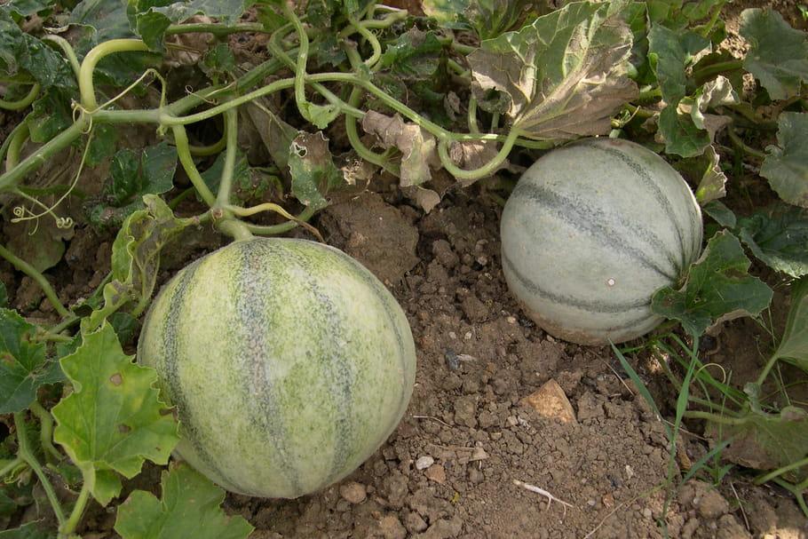 Cultiver des melons semis plantation taille et entretien - Quand cueillir un melon ...