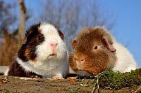 des cochons d'inde en balade