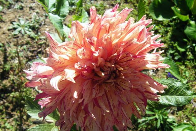 Dahlia rose pastel