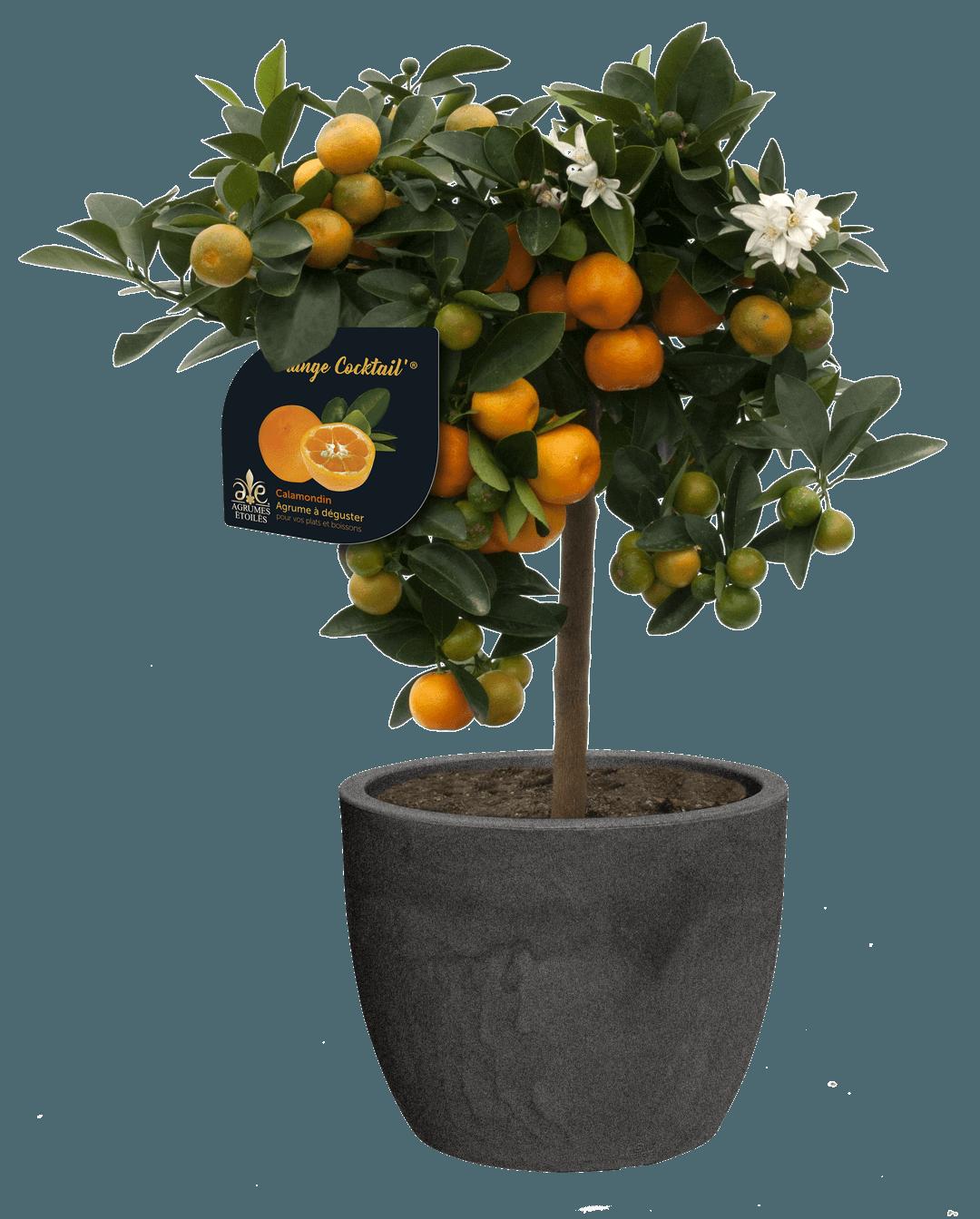 calamondin-agrume