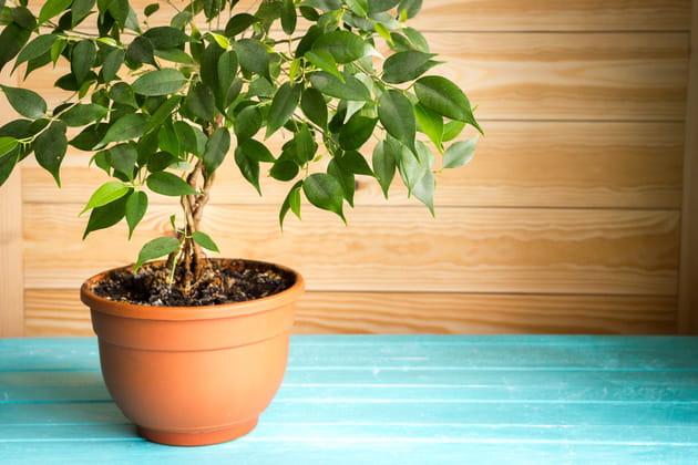 Ficus: des allergies respiratoires