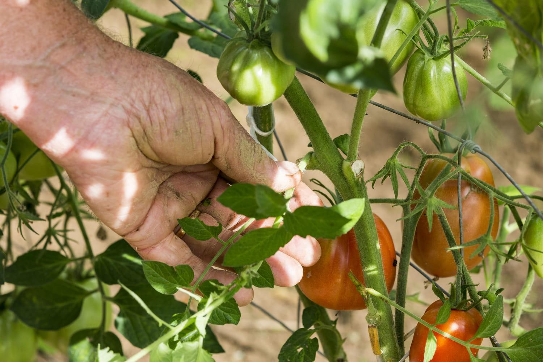 Gourmands de la tomate: faut-il ou non les enlever?