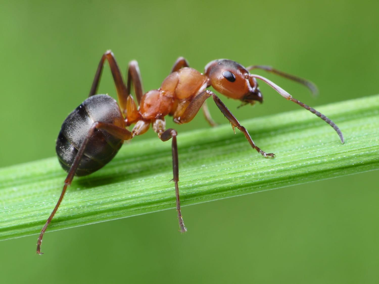 Piqûre de fourmi: la reconnaître, la soulager, traitements