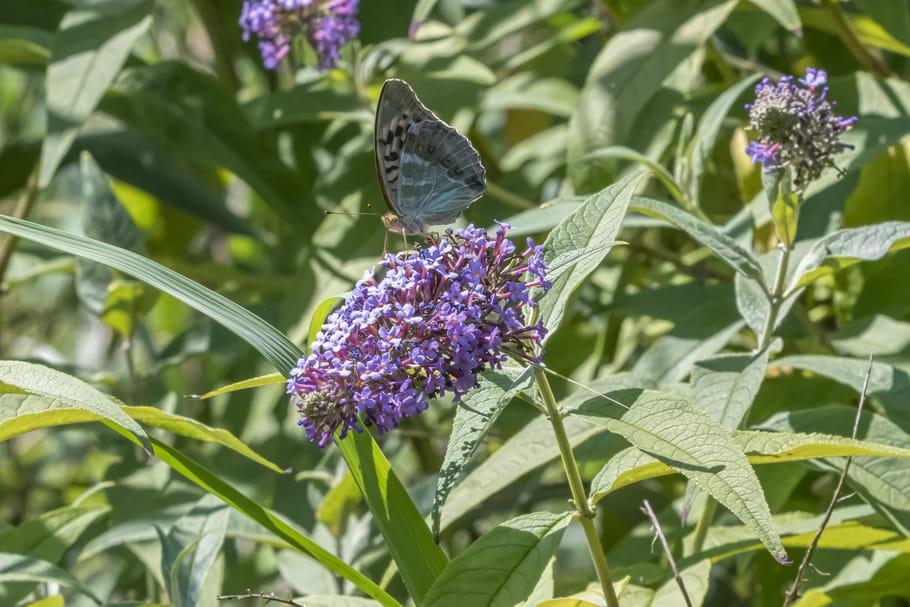 Buddleia (Arbre aux papillons)