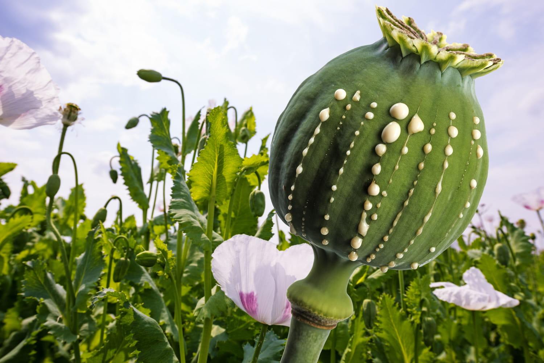 Opium: qu'est-ce que c'est, quels effets?