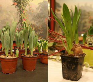 jacinthe blanche à gauche et tulipe 'queen of night' à droite.