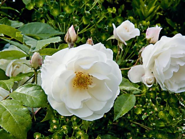 Le rosier 39 f e des neiges 39 for Decoration jardin rosier