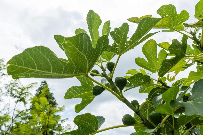Arbre Fruitier D Intérieur figuier : planter, entretenir, multiplier et récolter