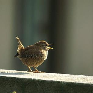 le troglodyte mignon se retrouve parfois avec plusieurs femelles, donc plusieurs
