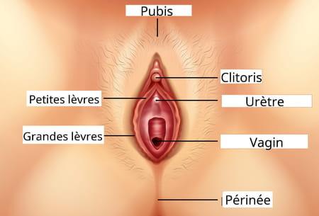 anatomie clitoris sexe femme
