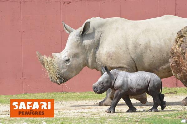 bebe-rhinoceros-safari-de-peaugres