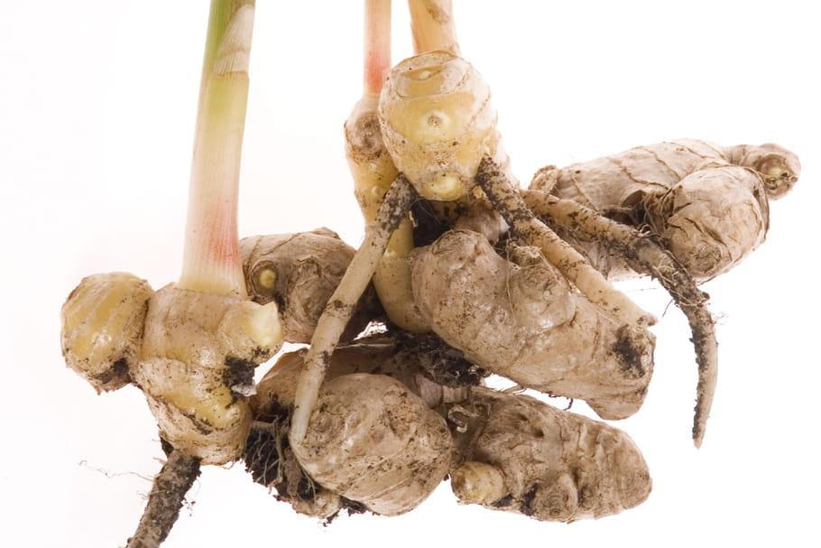 Cultiver du gingembre