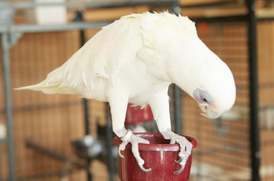 Le cacatoès à œil nu blanc