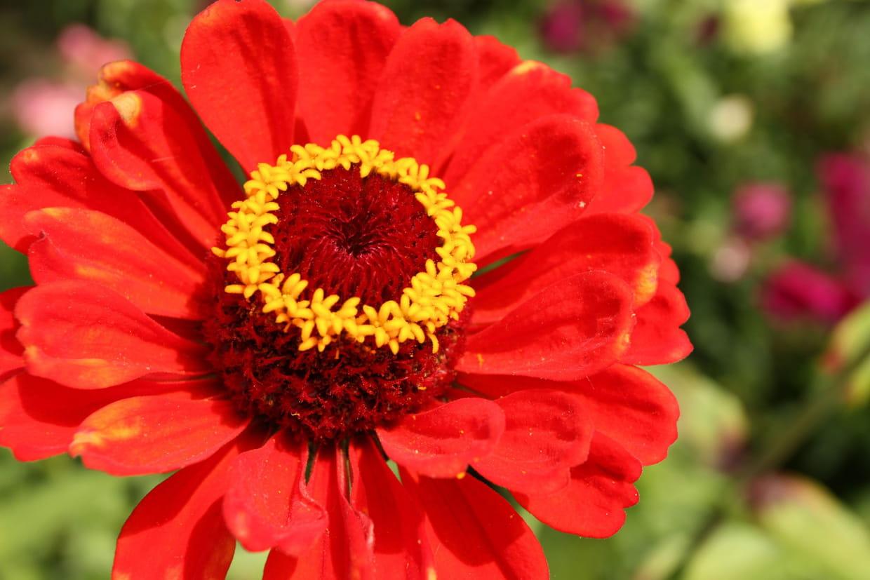 Quand Faut Il Semer Les Tournesols zinnia : semer, planter, entretenir et multiplier