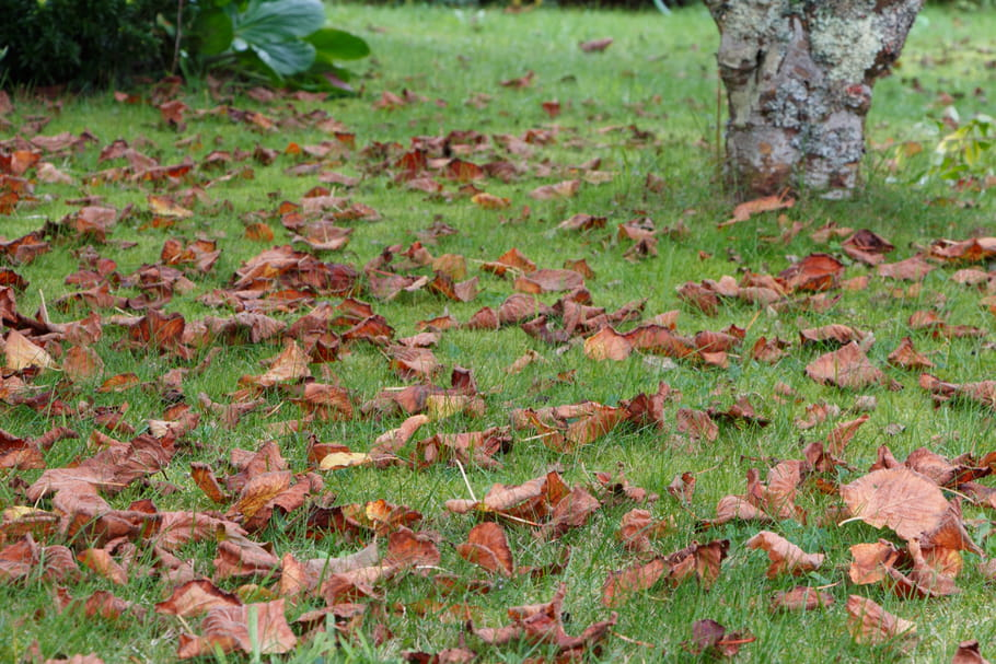 Comment utiliser les feuilles mortes ramassées au jardin?