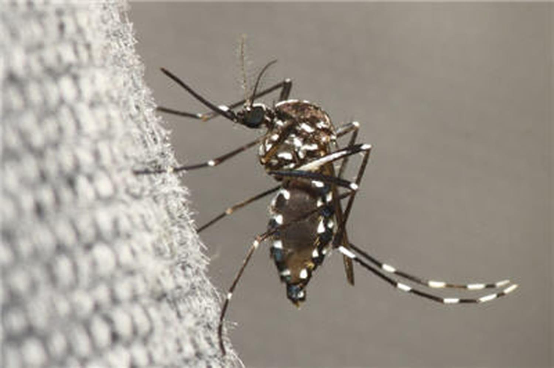 """Transmission """"autochtone"""" de chikungunya à Montpellier"""