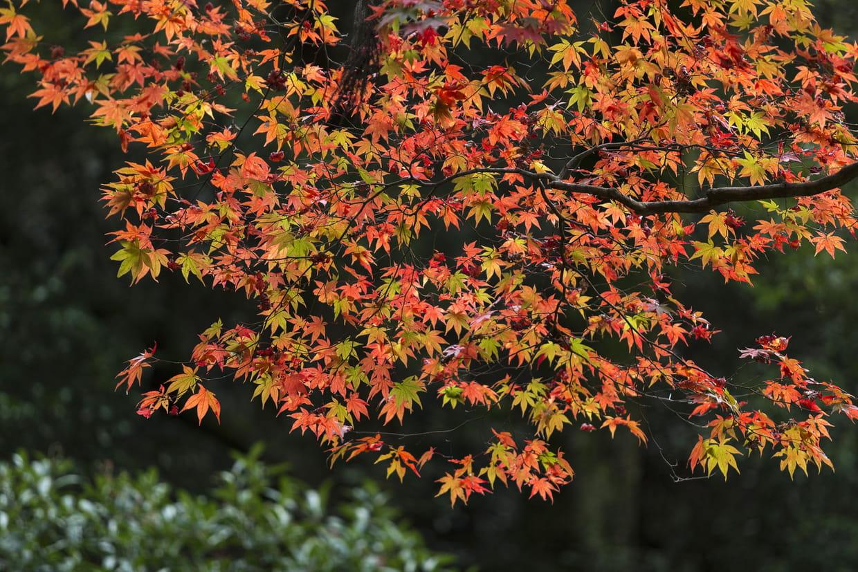 Compost De Feuilles D Érable Érable du japon : planter, entretenir, tailler et variétés