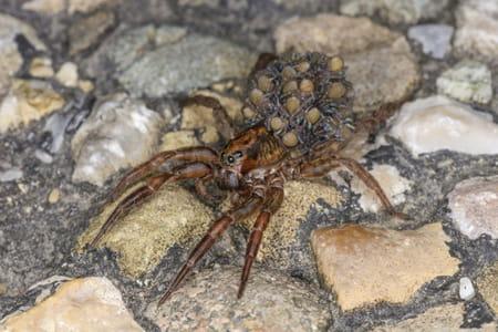 araignée-loup avec ses oeufs sur le dos