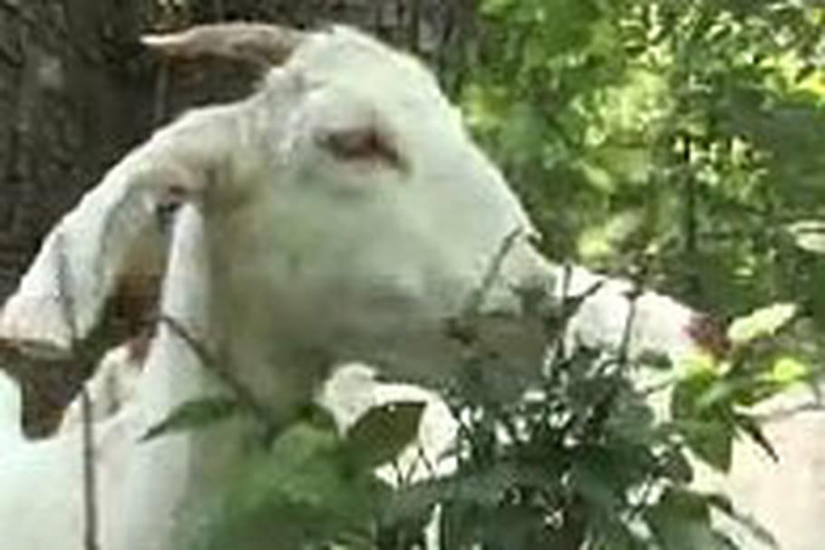 Nouvelle tendance écolo aux Etats-Unis : défricher son jardin à l'aide d'une chèvre