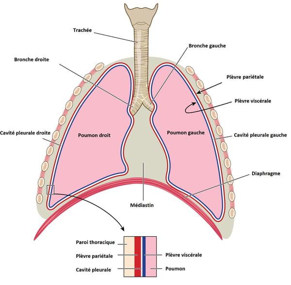 Schéma d'un poumon
