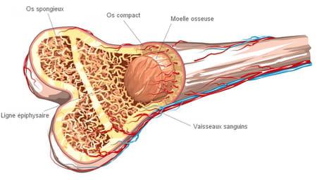 schéma de la moelle osseuse