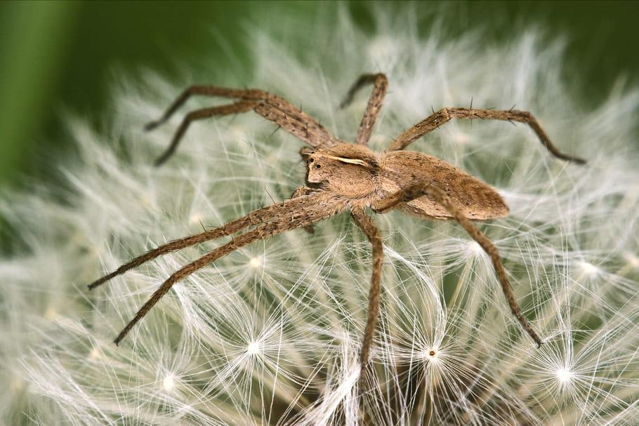 Araignée violoniste: taille, symptômes d'une morsure, que faire?