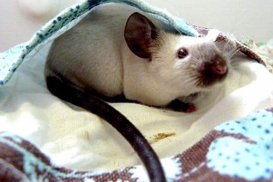 Une souris siamoise très coquine