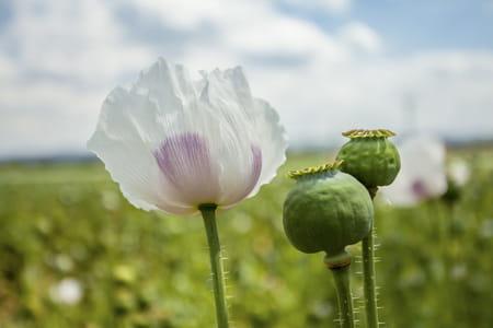 fleur de pavot à opium
