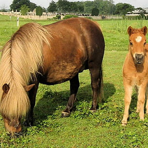 le shetland est le plus petit poney.