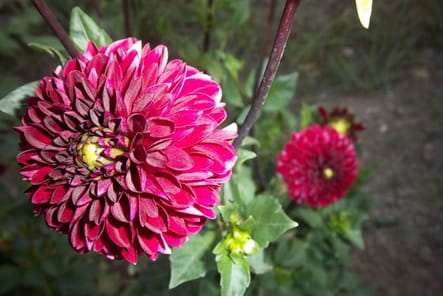 Dahlia rose fuschia