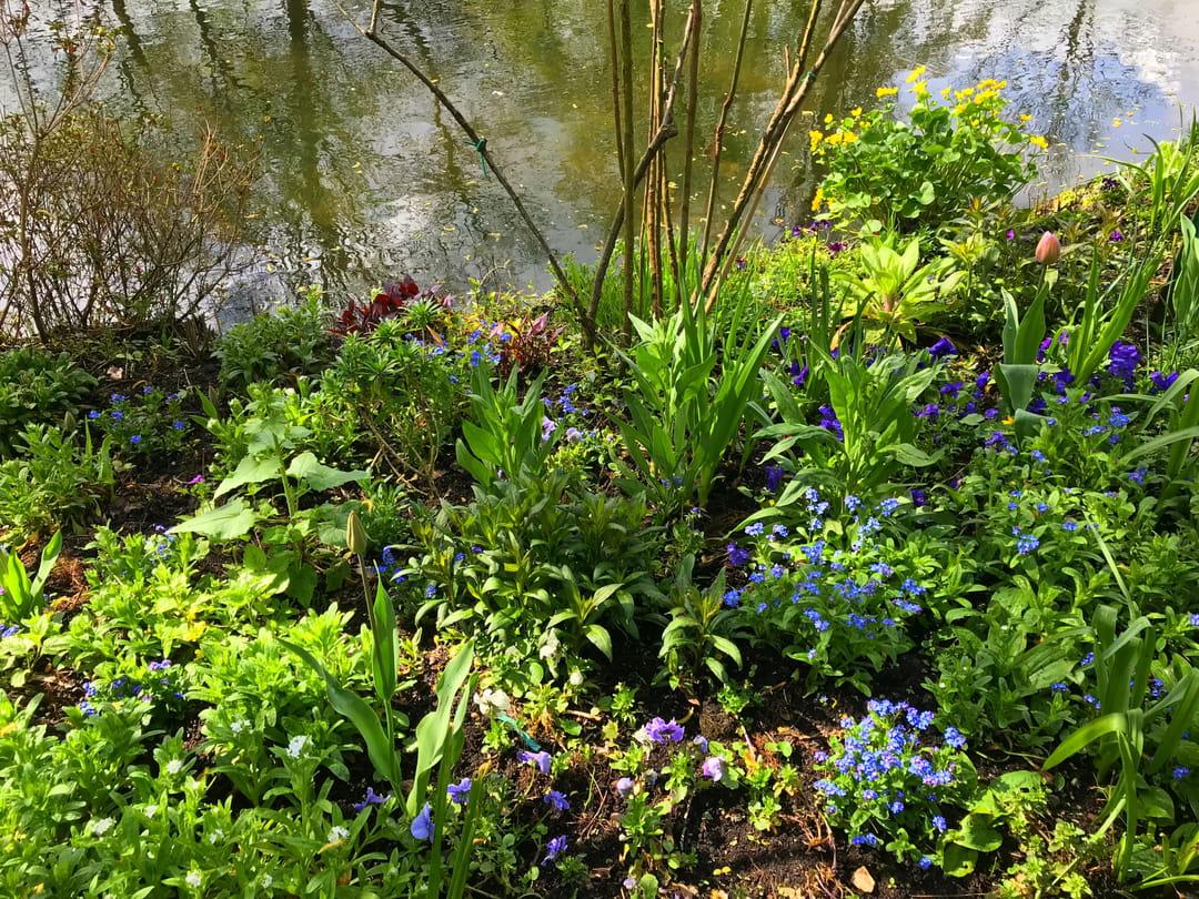 jardin-giverny-myosotis