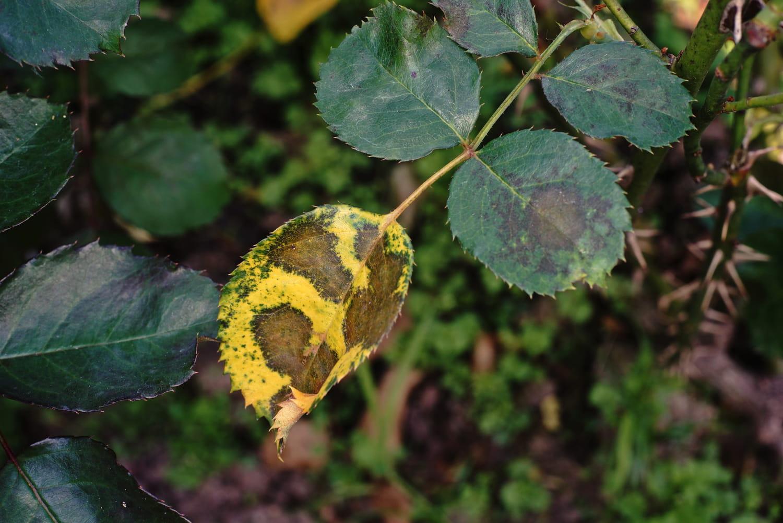 Virose végétale: comment détecter et lutter contre les phytovirus?