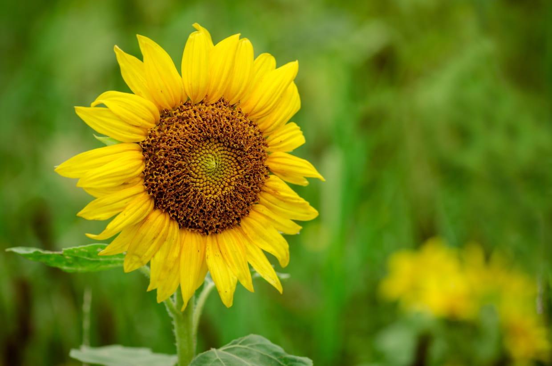 Quand Faut Il Semer Les Tournesols tournesol : planter, semer, entretenir et récolter