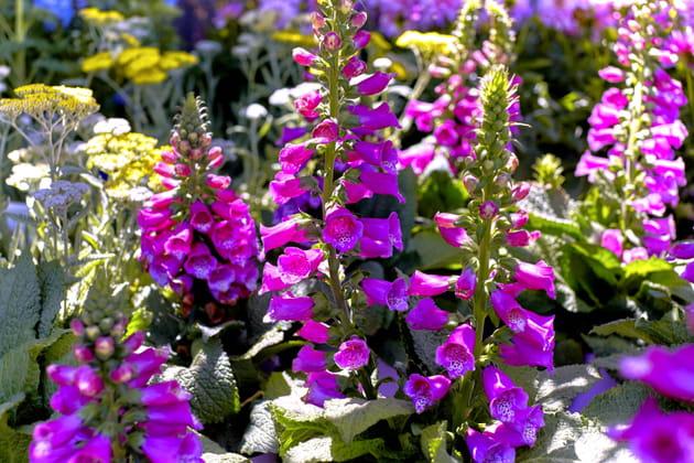 Digitale: une plante à éviter chez le fleuriste