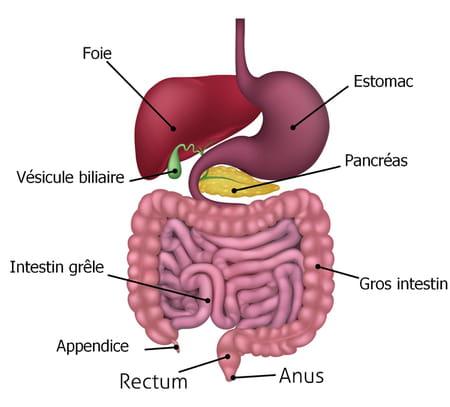 schéma intestin grêle