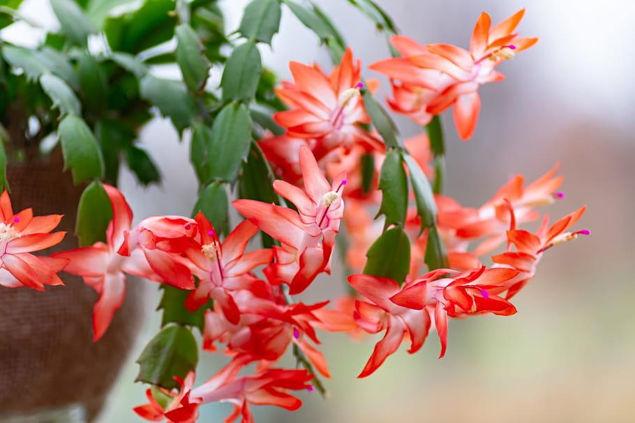 Cactus de Noël (Schlumbergera)
