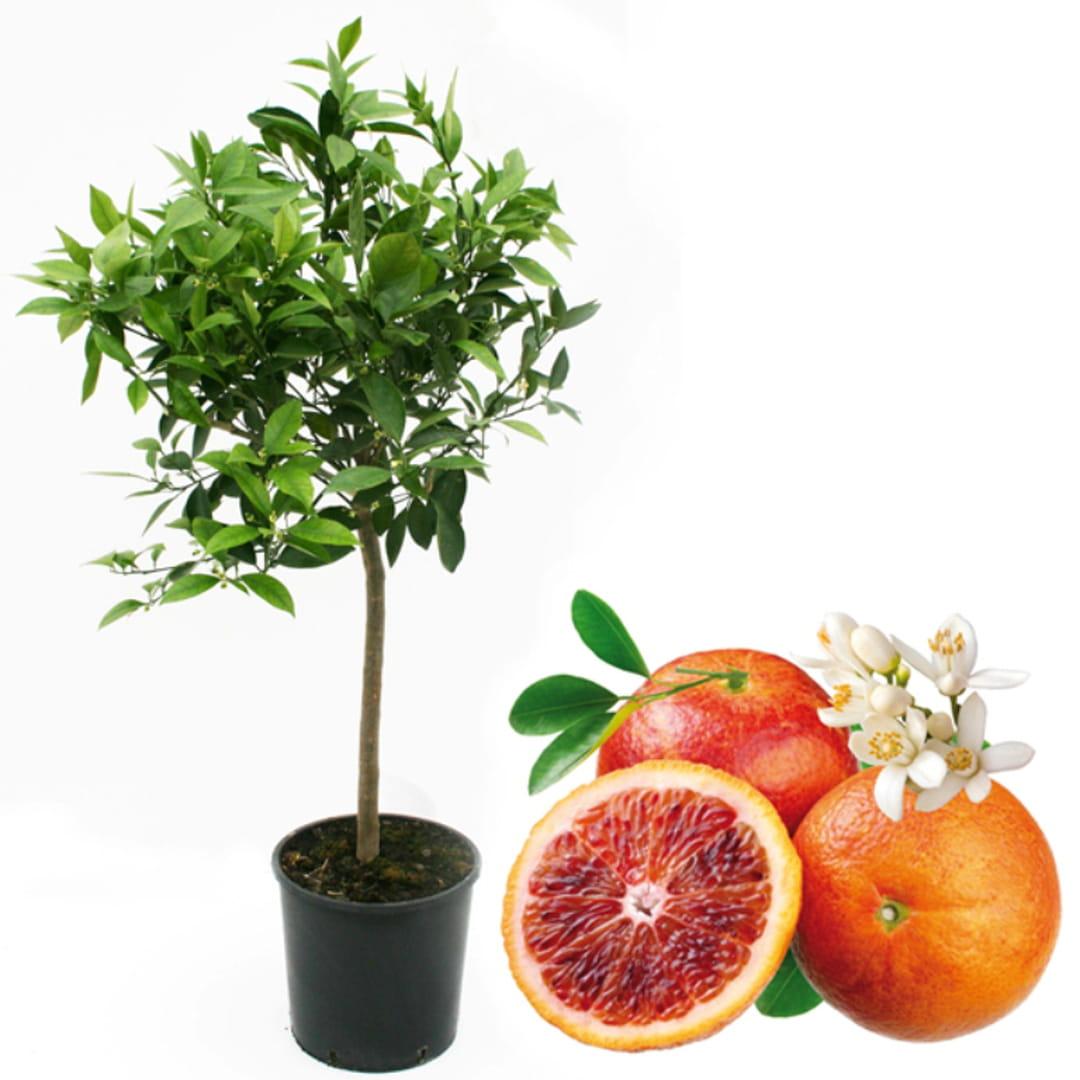 oranger-sanguin-agrume