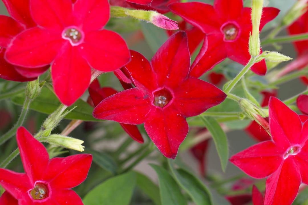 tabac-d-ornement-a-fleurs-rouges