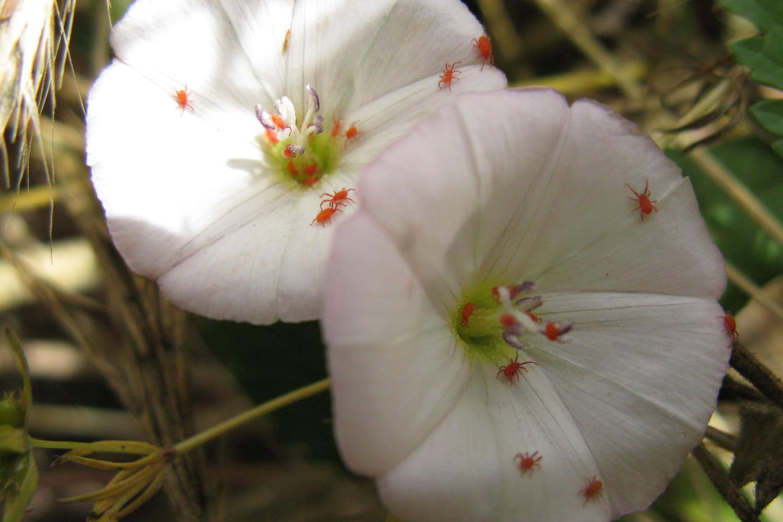 Araignée rouge: quel traitement pour s'en débarrasser au jardin?