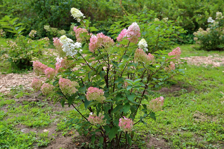 Hydrangea paniculata (Hortensia paniculé)