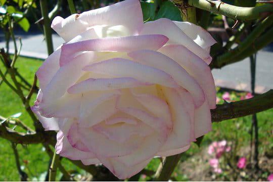 Une rose pour une princesse