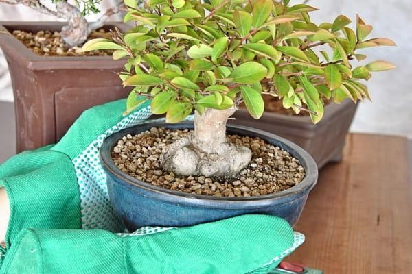 rempoter-un-bonsai