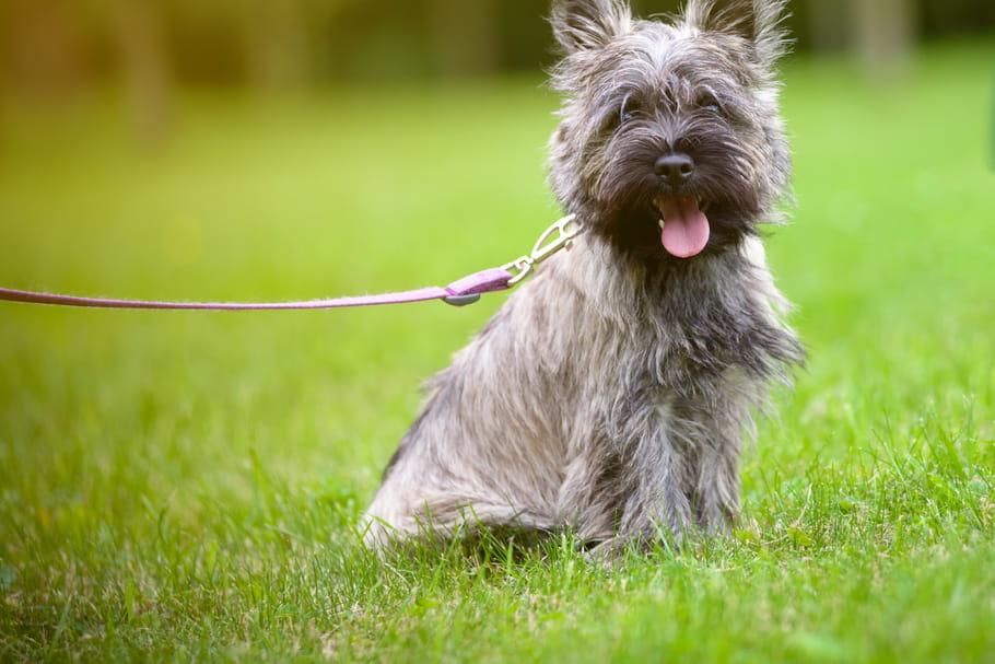 Cairn Terrier Caractère Origine Santé Et Alimentation De